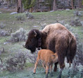Feeding Baby Bison Royalty Free Stock Photo
