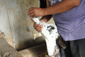 Feeding baby calf Royalty Free Stock Photo