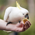 Feeding birds hand a sulphur crested cockatoo in australia Royalty Free Stock Photography