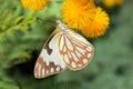 Feeding butterfly Royalty Free Stock Photo