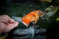 Feeding carp by hand koi Royalty Free Stock Photos