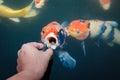 Feeding carp by hand koi Royalty Free Stock Photo