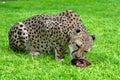 Feeding of cheetah,Namibia, Royalty Free Stock Photo