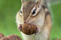 Feeding chipmunk siberian eating walnuts on green grass ground Royalty Free Stock Photos