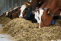 Feeding cow close up row of cows in farm Stock Photos