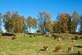 Feeding cows. Royalty Free Stock Photos