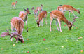 Feeding deer deers eating apples scattered on green grass Stock Photography