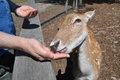 Feeding a deer young is eating from mans hand Stock Photography