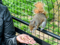 Feeding an Eastern Gray Squirrel in New York City, USA Royalty Free Stock Photo