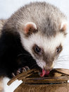 Feeding ferret Stock Photo