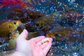 Feeding fish man hand hungry koi in the pond Royalty Free Stock Photo