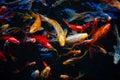 Feeding frenzy of ornamental koi fish in a pond Royalty Free Stock Photo