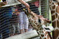 Feeding giraffes people hand feed romaine lettuce Royalty Free Stock Images