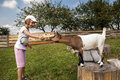 Feeding goat little girl years old on farm Stock Image