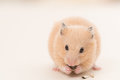 Feeding hamster golden eating sunflower seed on wooden board Stock Image
