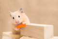 Feeding hamster grooming eating carrot on building blocks Royalty Free Stock Photo