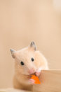Feeding hamster grooming eating carrot on building blocks Royalty Free Stock Images