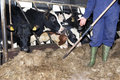 Feeding heifer Royalty Free Stock Photo