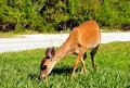 Feeding Key Deer Royalty Free Stock Photo