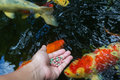 Feeding koi by hand close up Stock Images