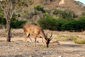 Feeding komodo deer a flores rusa is in the national park rusa floresiensis flores rusa Stock Images