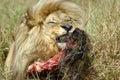 Feeding lion 库存图片