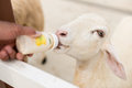 Feeding little sheep in the farm Royalty Free Stock Image