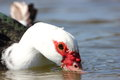 Feeding Muscovy Duck Stock Images