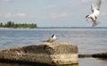 Feeding nestling bird gull in the wild - 1 Royalty Free Stock Photo