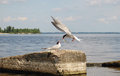 Feeding nestling bird gull in the wild - 2 Royalty Free Stock Photo