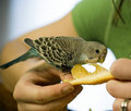 Feeding orange to a baby budgie Stock Images