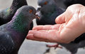 Feeding a pigeon from hand Royalty Free Stock Photo