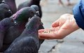 Feeding pigeons from hand Royalty Free Stock Photo