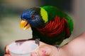 Feeding a Rainbow Lorikeet Stock Image