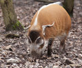 Feeding red river hog Royalty Free Stock Photo