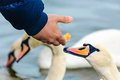 Feeding swan feeding hand people wild on lake helping survival Royalty Free Stock Photo