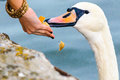 Feeding swan woman hand people wild on lake helping survival Royalty Free Stock Image