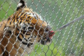 Feeding the tiger through bars Royalty Free Stock Photo