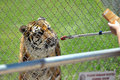 Feeding the tiger through bars Royalty Free Stock Photography