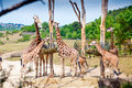 Feeding Time For Giraffes Royalty Free Stock Photo