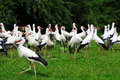 Feeding time a lot of storks will be feeded with young chicken in the breeding station Royalty Free Stock Photography