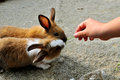 Feeding time for two rabbit on the stone in thailand Stock Photo