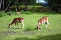 Feeding two fallow deer females on the grass Royalty Free Stock Photo
