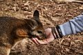 Feeding a wallaby / kangaroo Royalty Free Stock Photo
