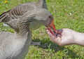 Feeding wild geese Stock Photos
