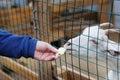 Feeding young goat Royalty Free Stock Photo