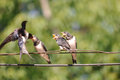 Feeding young swallow Royalty Free Stock Photo