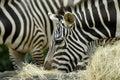Feeding Zebras Stock Photography