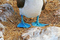 Feet of a blue-footed booby Royalty Free Stock Photos