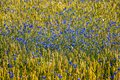 Feld of cornflowers Royalty Free Stock Photo